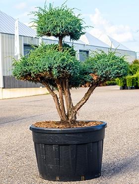 Juniperus sq. meyeri
