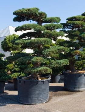 Pinus parvifolia