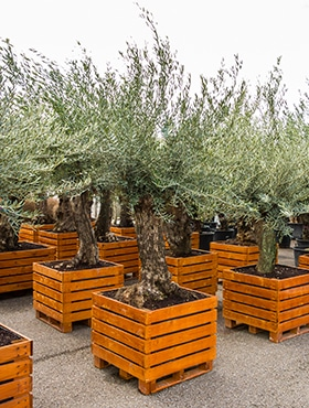 Assortiment olijfbomen 2,5m