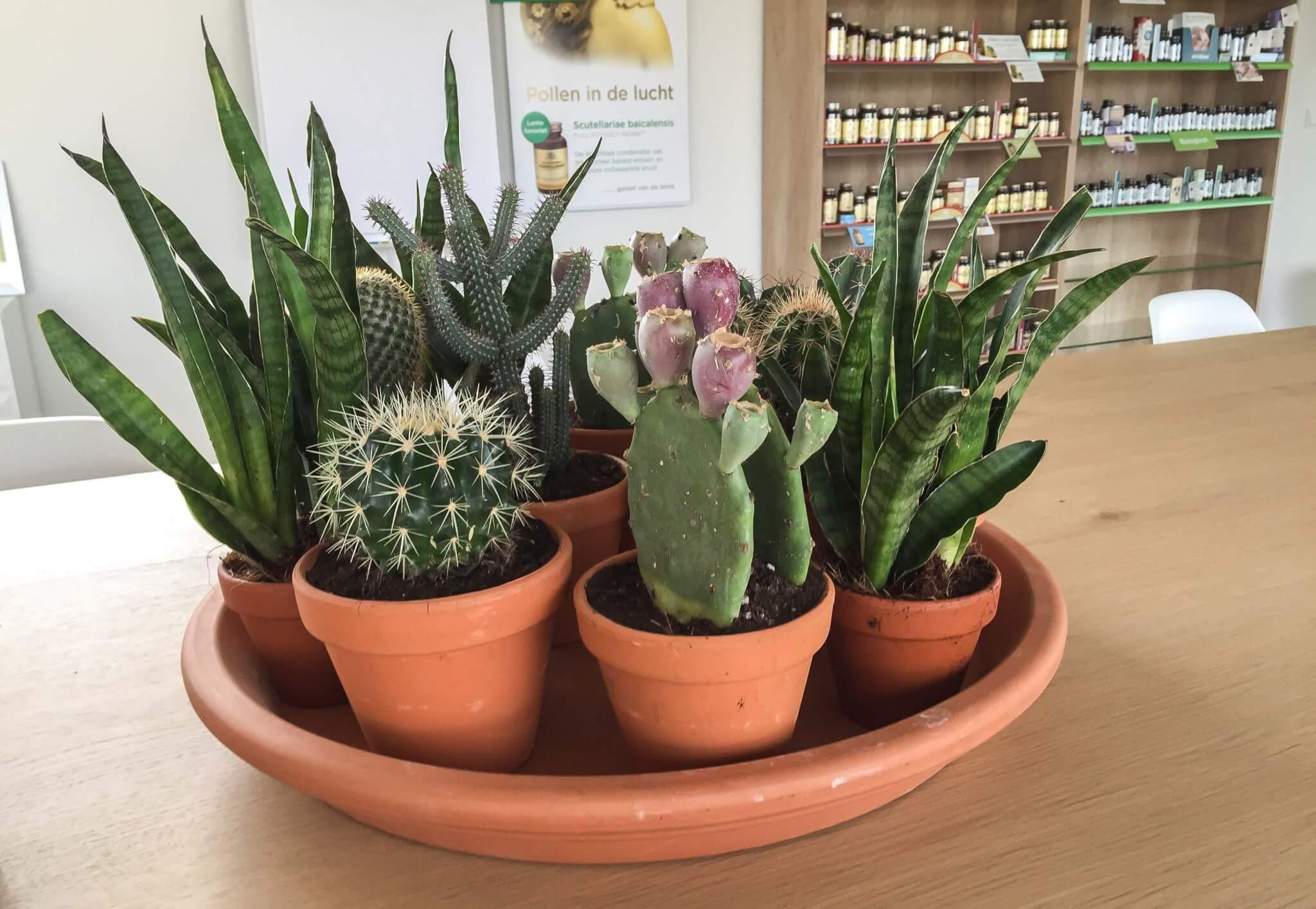 Cactus Alkmaar
