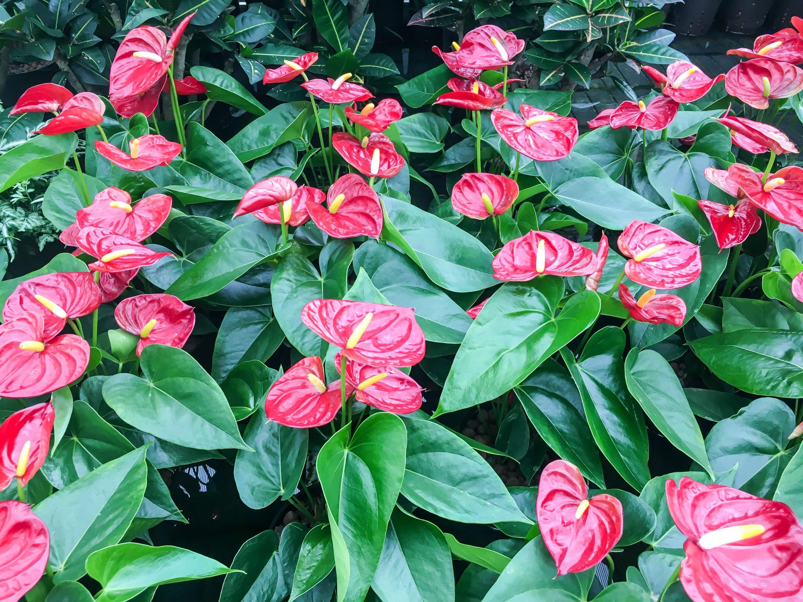 zijdeplanten