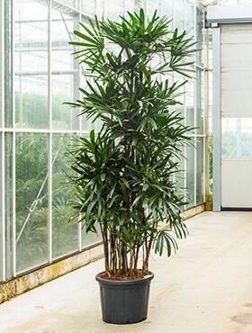 grote plant voor binnen