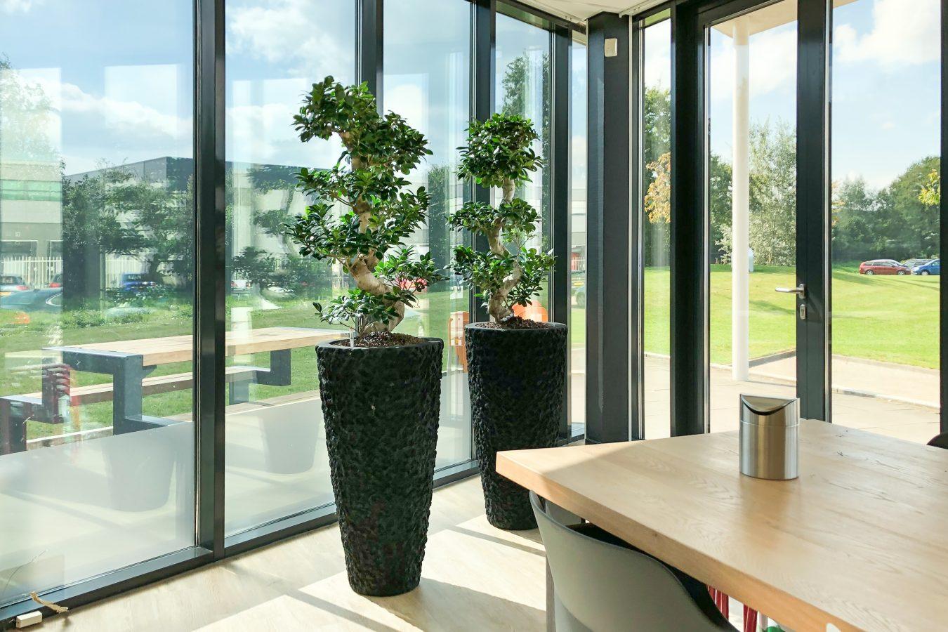 Natuurlijke zwarte lava plantenbak met 2 ficus kantoorbeplanting