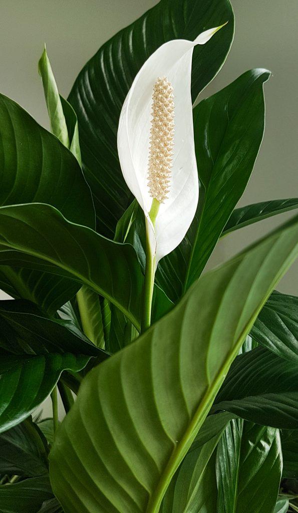 kantoorplant van de maand Oktober, de Spathiphyllum oftewel lepelplant