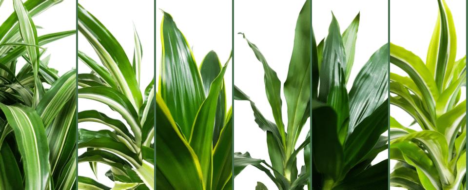 blad details van dracaena soorten
