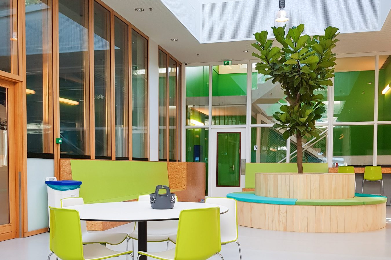 Grote ficus Lyrata in bank