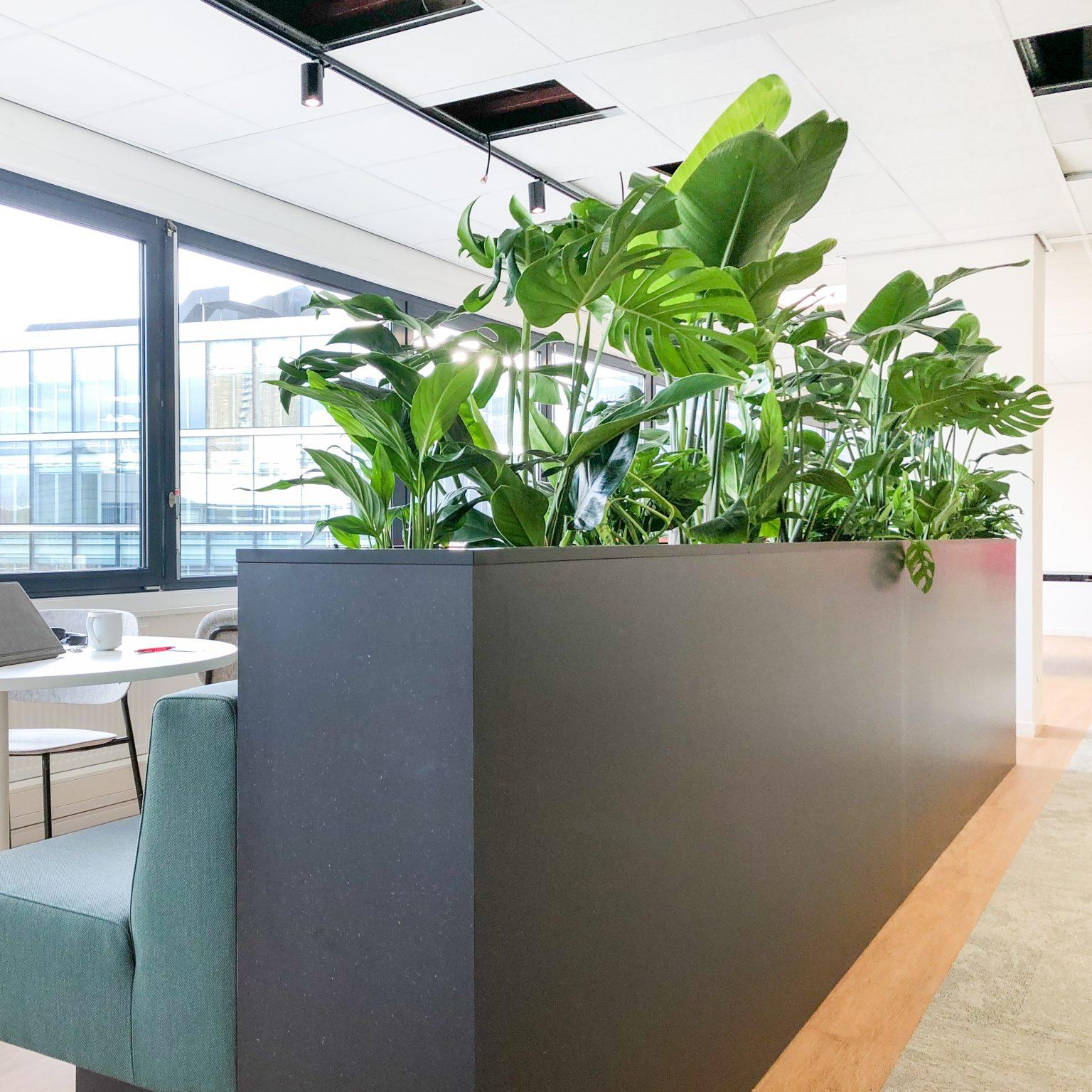 Strelitzia in groep hydro planten