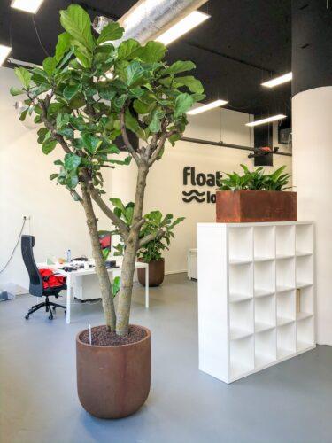 Grote hydro Ficus lyrata