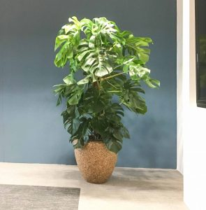 monstera in handgemaakte plantenbak