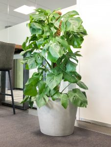 Monstera in cement plantenbak