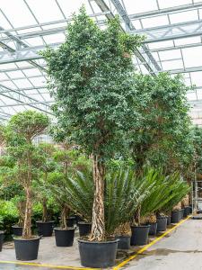 Ficus nitida kantoorboom