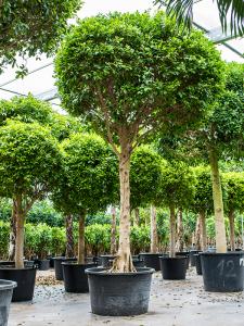 Ficus nitida groot