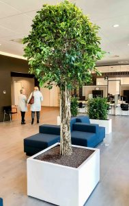 Ficus nititda grote kantoorboom