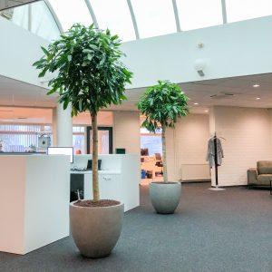 Ficus op stam kantoor boom