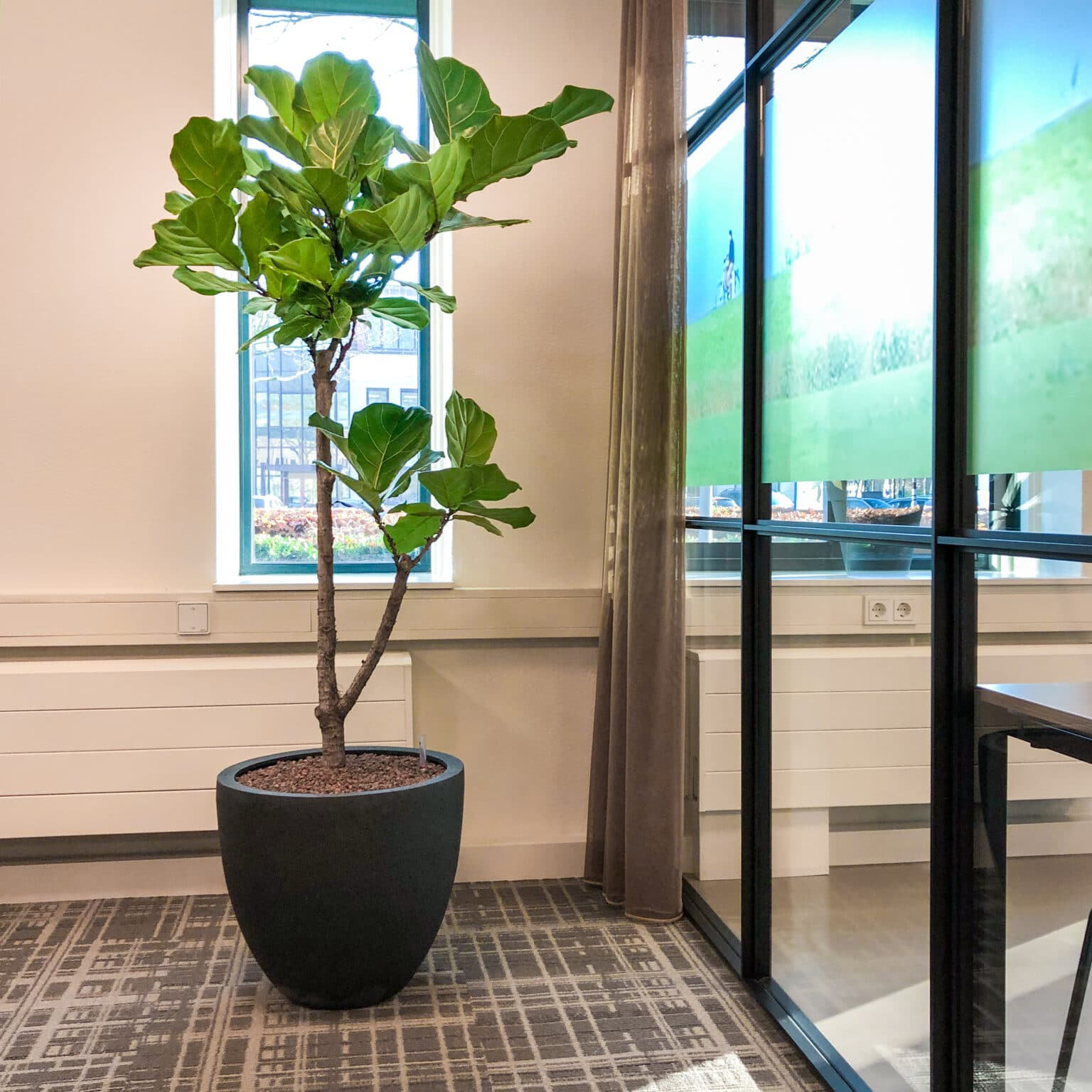 Ficus lyrata kantoorplant Apeldoorn