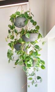Philodendron hangplant kantoorplant november