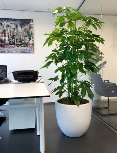 Grote kantoorplant Doetinchem