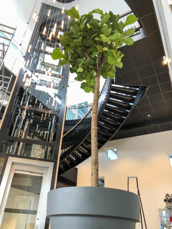 Grote ficus op kantoor kantoortrends 2021