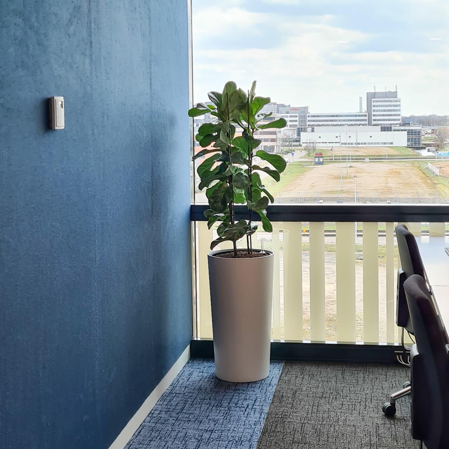 Ficus op kantoor bij Align Technology